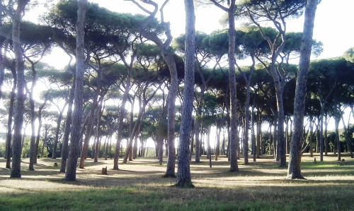 Pine trees in Villa Doria Pamphili park