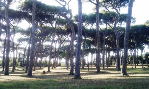 Pine trees in Villa Doria Pamphili park