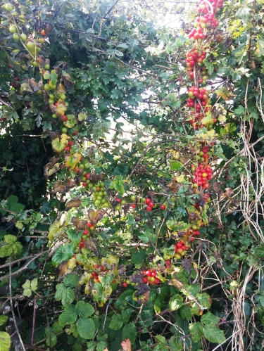 Garland of black bryony