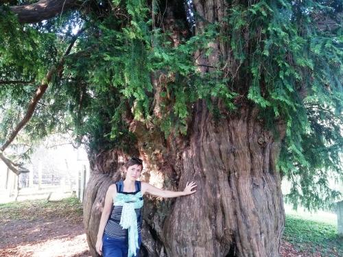 Thousand year old yew, Corhampton Church