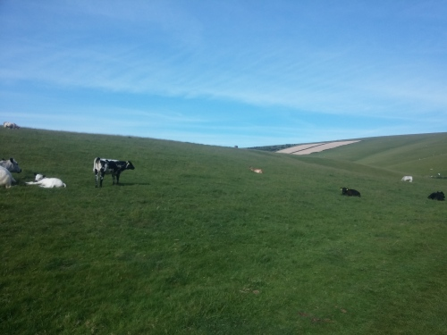 Cattle on the South Downs, Southerham, 30 May 2015