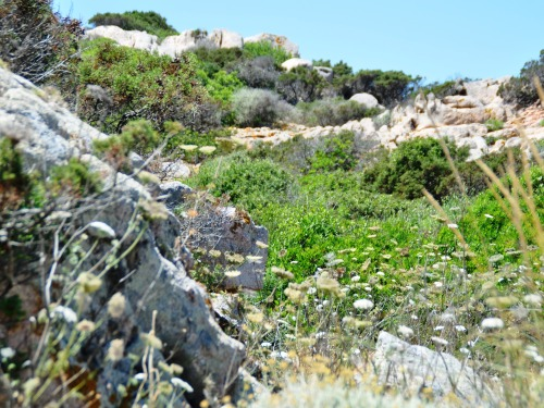 Macchia scrub on Isola Caprera. Pic: Fran Hortop