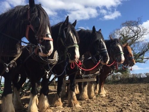 The Waterer Shire horses